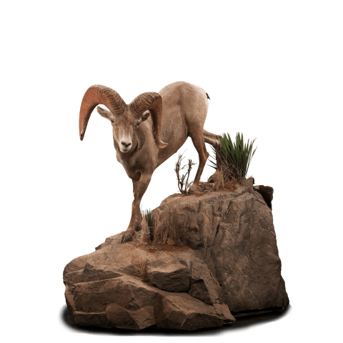 Desert sheep walks on rocks taxidermy