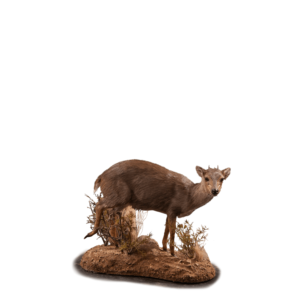duiker life size mount