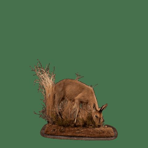 grazing duiker life size mount