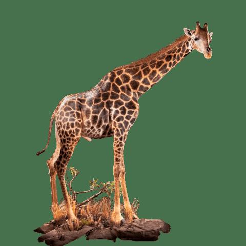 full size giraffe mount