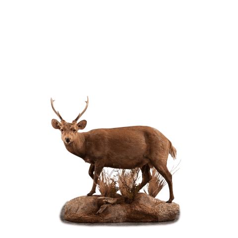 hog deer taxidermy