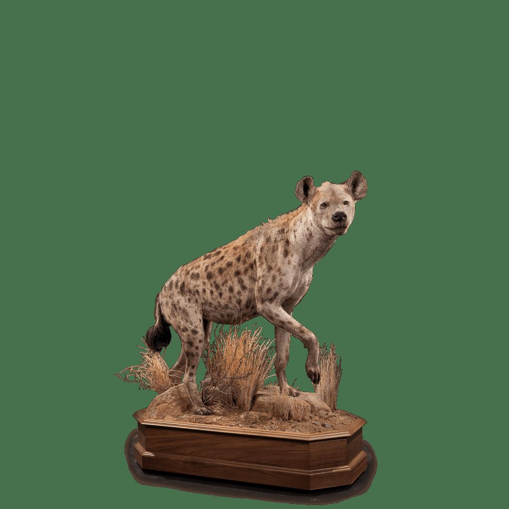 life size hyena taxidermy