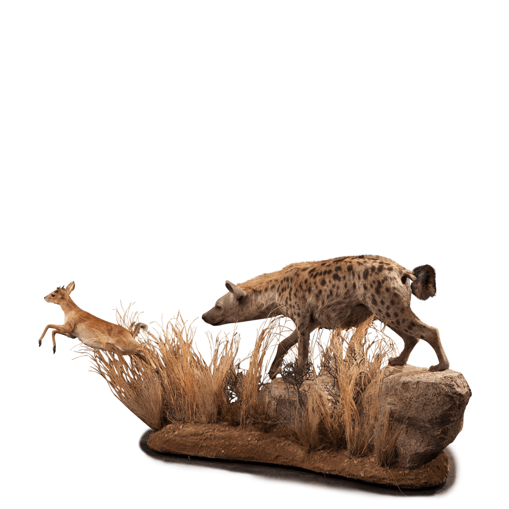 hyena hunting steinbok taxidermy