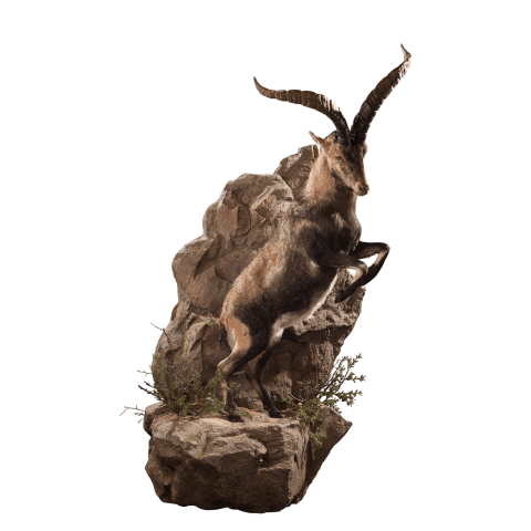 life size jumping ibex taxidermy