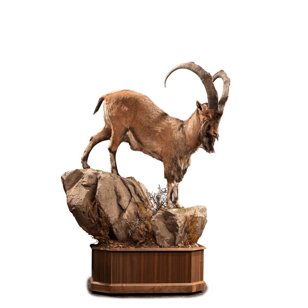 life size ibex on rocks taxidermy