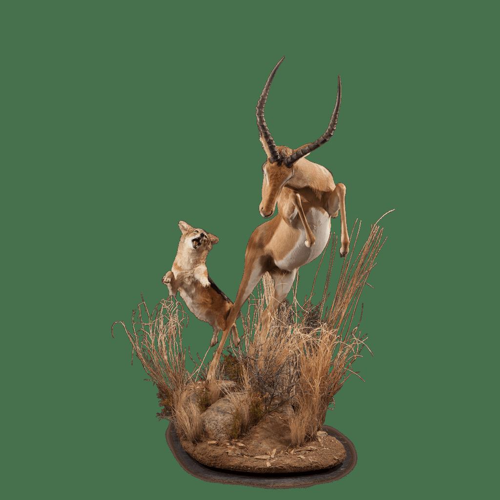 jackal hunting impala taxidermy