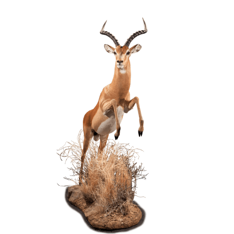 leaping impala shoulder mount
