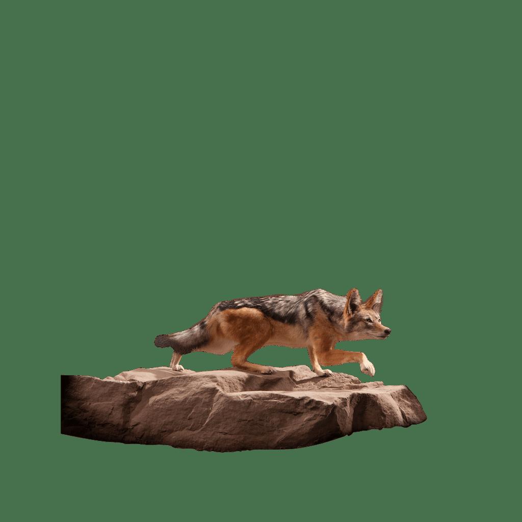 jackal taxidermy