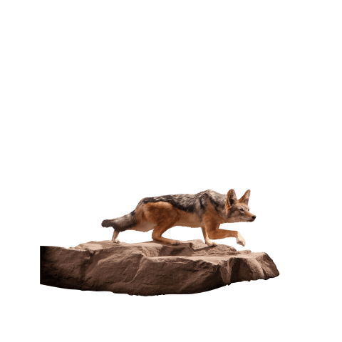 jackal taxidermy