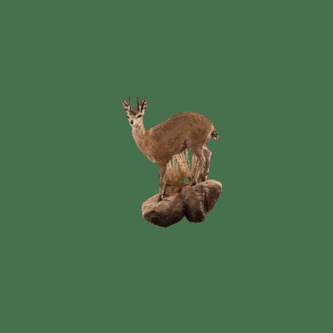 klipspringer life size taxidermy