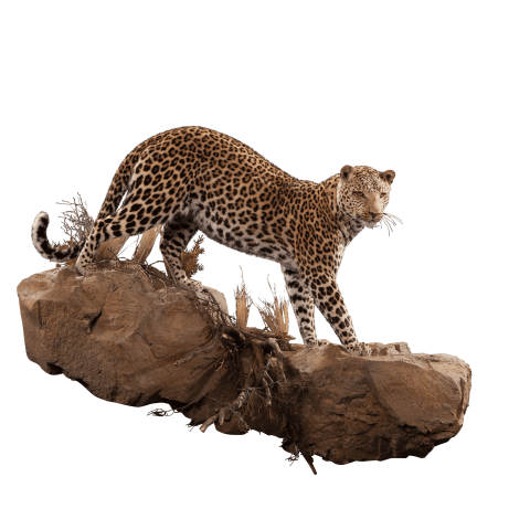full size leopard pose