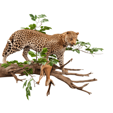 leopard with a kill taxidermy