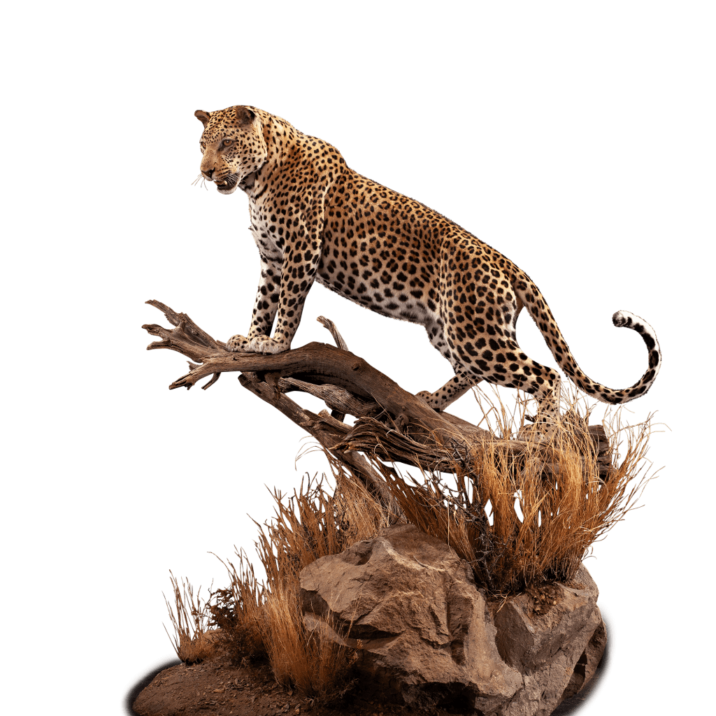 life size leopard on a branch taxidermy