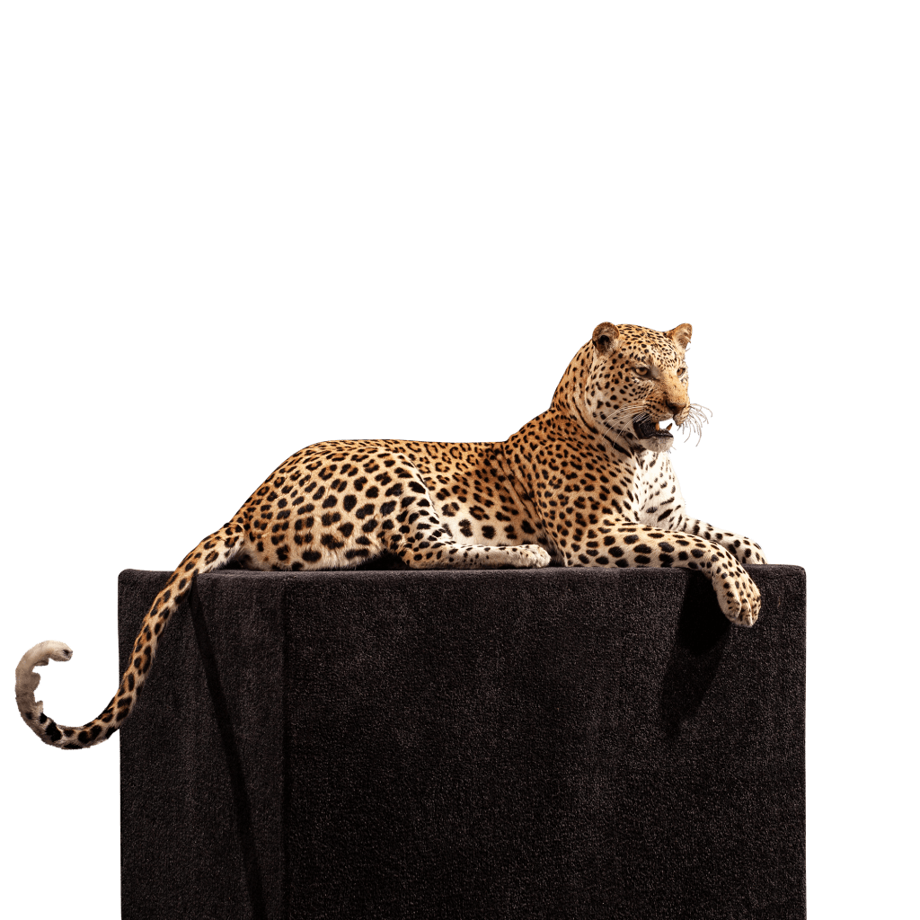 lounging leopard taxidermy