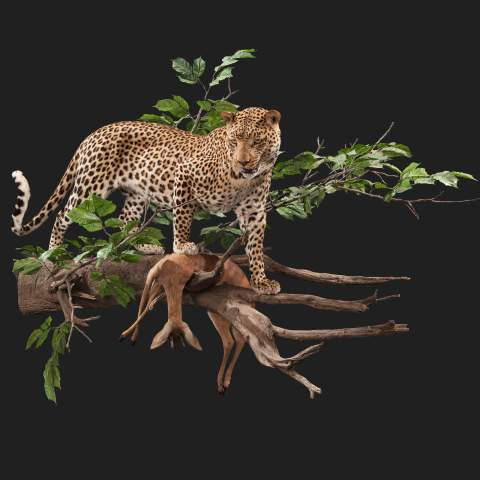 Leopard taxidermy full piece