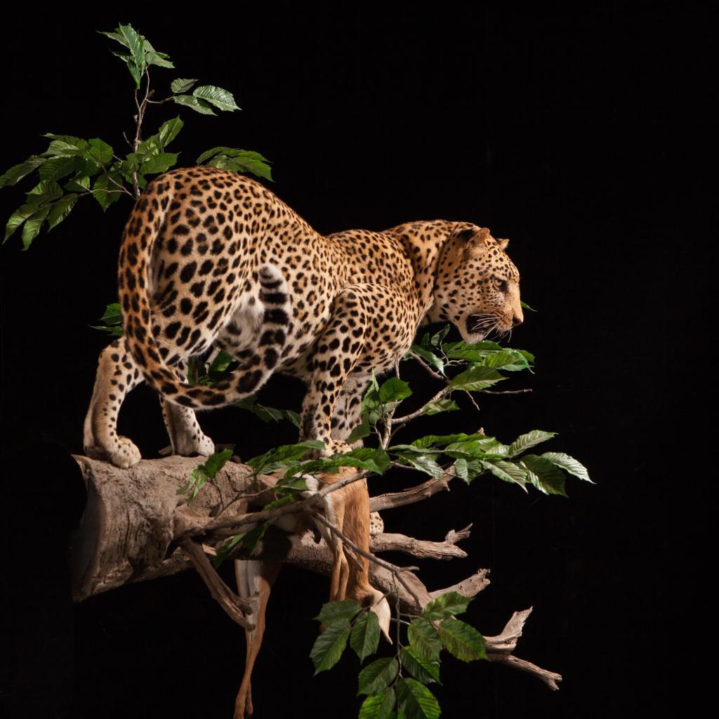Leopard taxidermy rear view