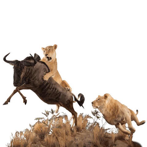 two lions hunting wildebeest mount