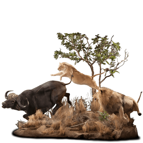 lions hunting cape buffalo taxidermy scene