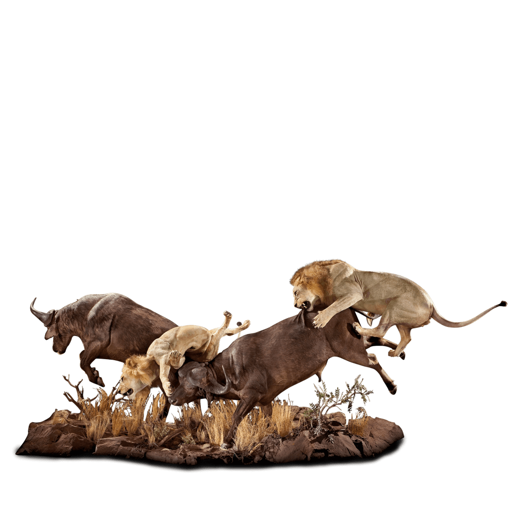 lions hunting buffalo full size taxidermy
