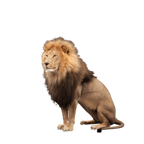 full size lion sitting taxidermy
