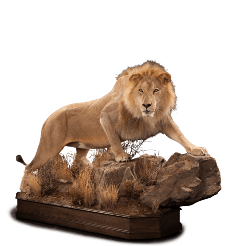 life size lion on rocks