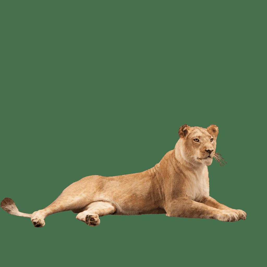 lioness lying down taxidermy