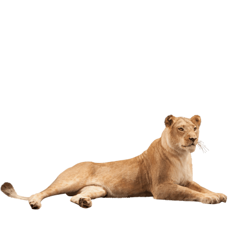 lioness lying down taxidermy