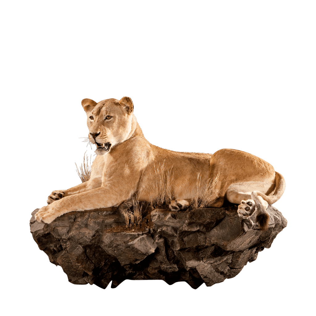 lioness laying on rocks taxidermy