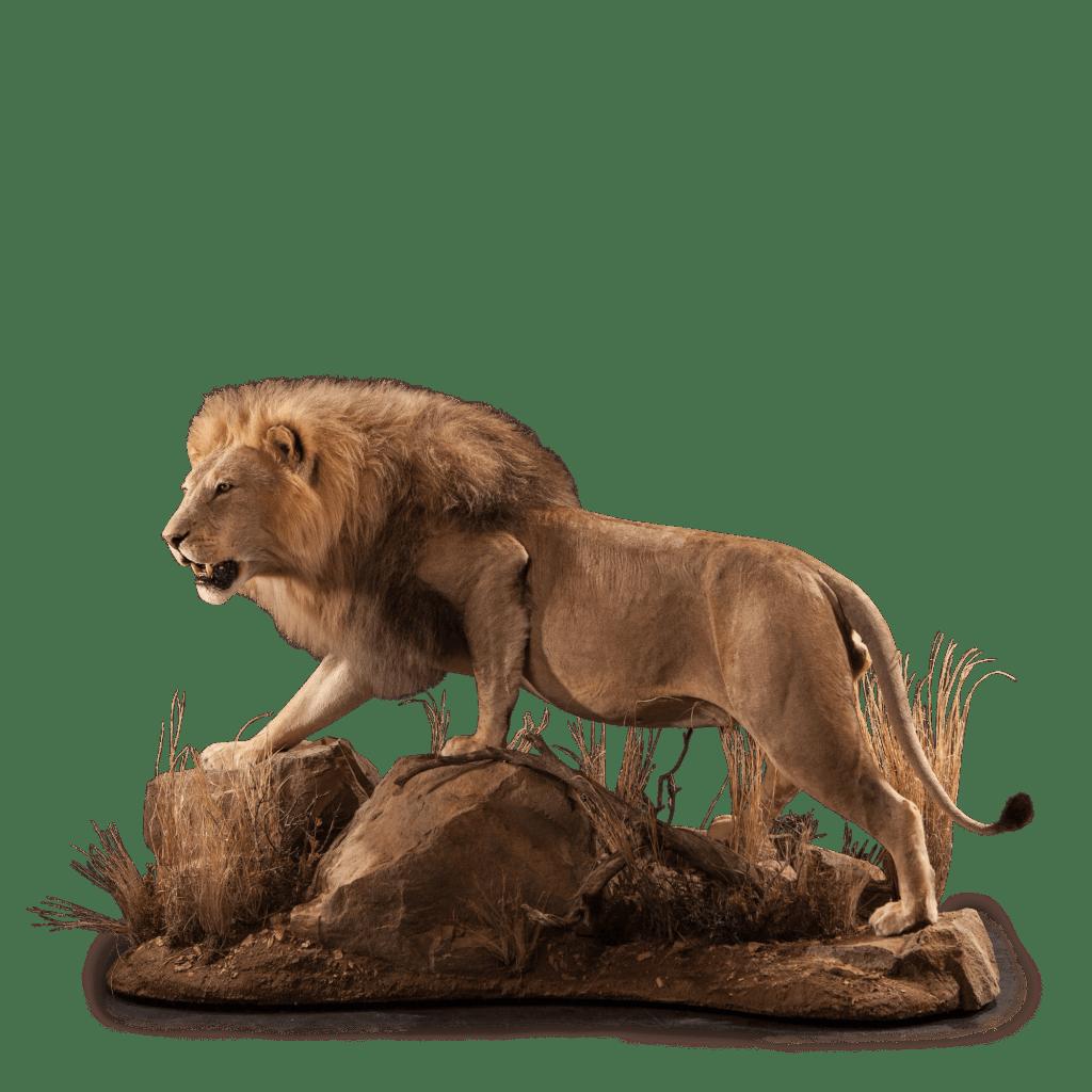 life size lion mount