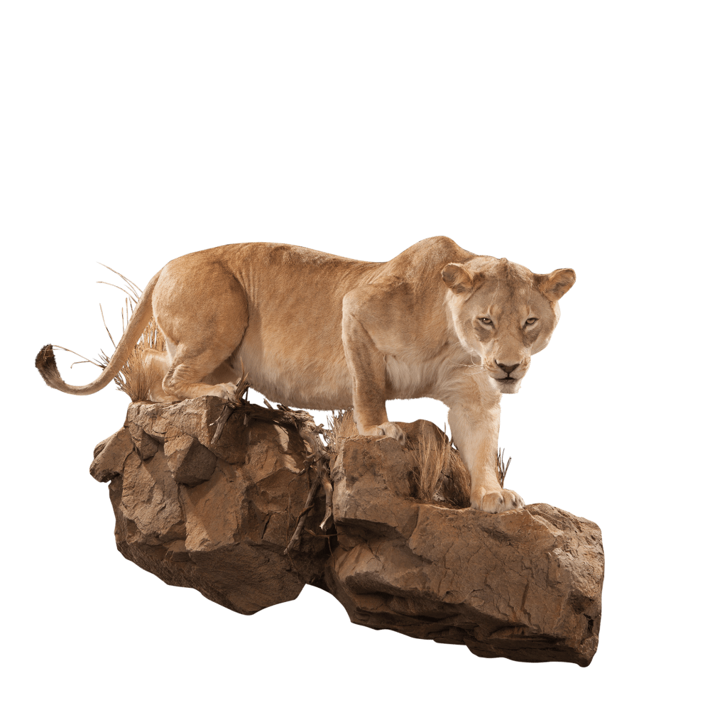 lioness on the prowl taxidermy
