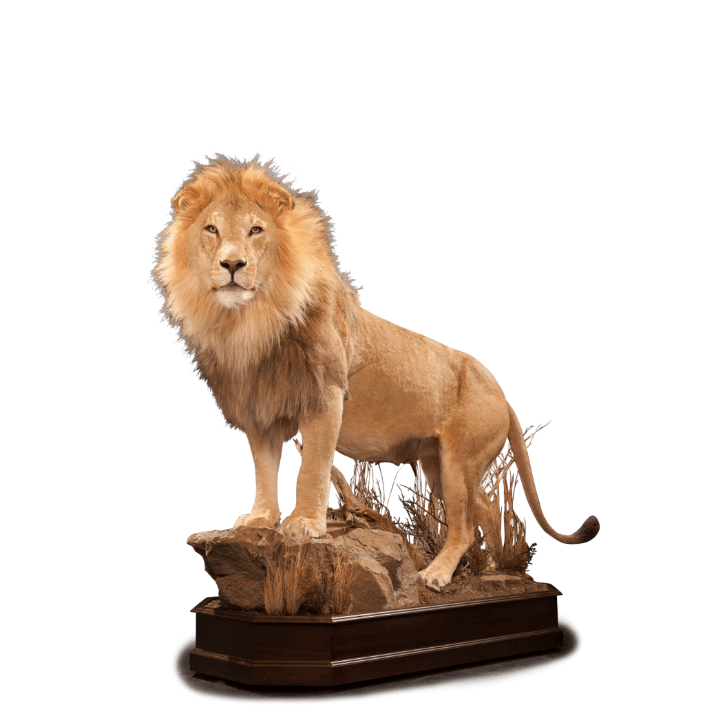 life size lion taxidermy
