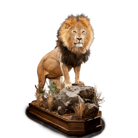 full size lion taxidermy