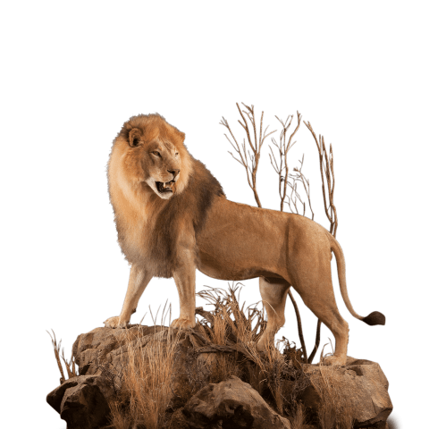 life size lion mount on a rock