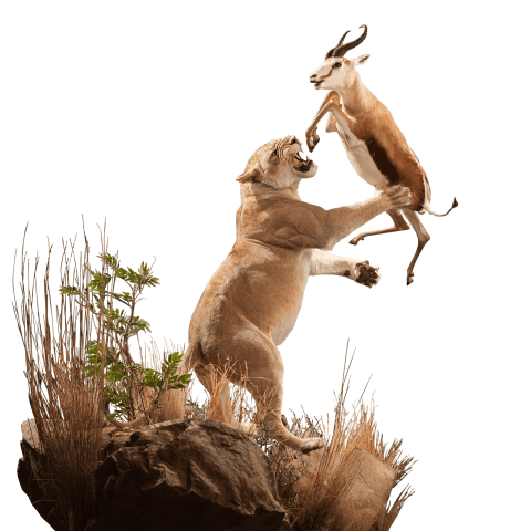 life size mount of lion hunting springbok