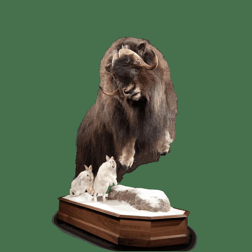 Musk ox mount