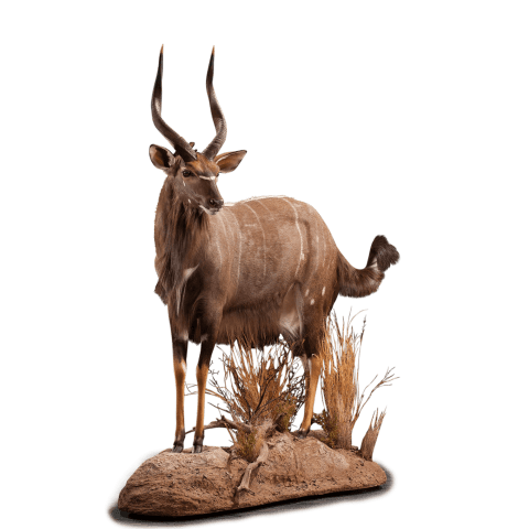 nyala life size taxidermy