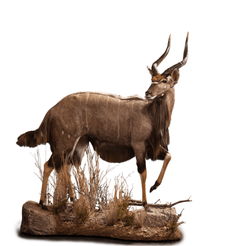 walking nyala taxidermy