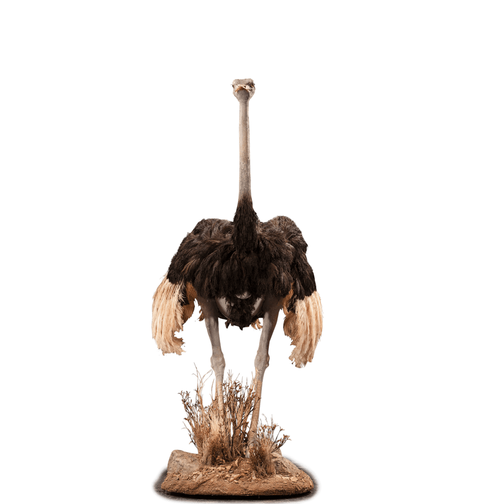 life size ostrich taxidermy mount