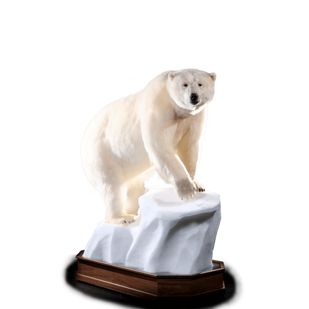 Polar bear mount front view