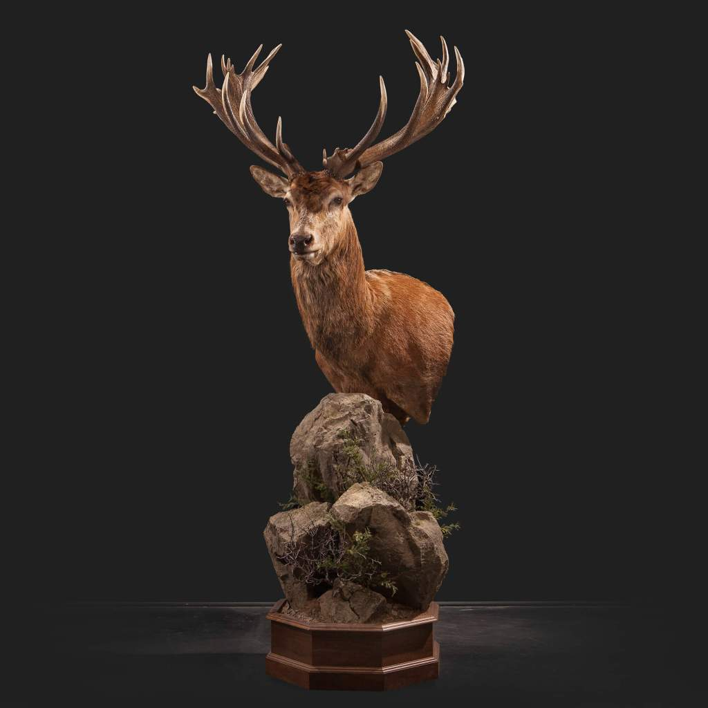 Red Stag Deer taxidermy front view