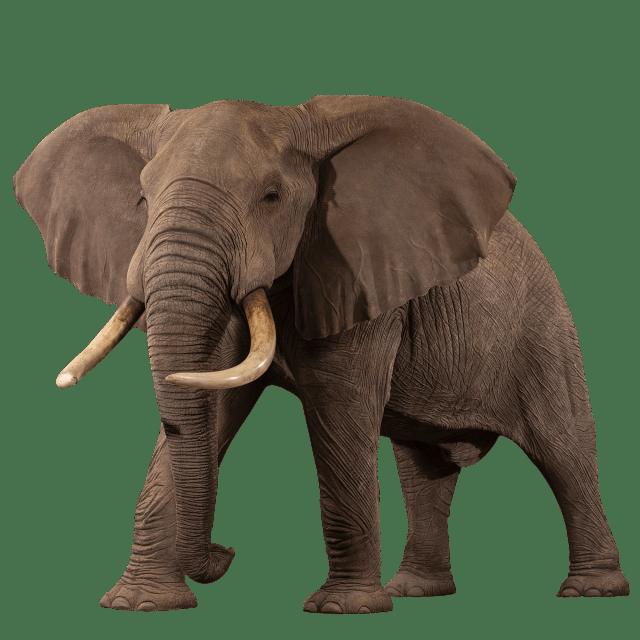 Replica Elephant Life-Size Mount