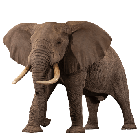 Replica Elephant Life-Size Mount