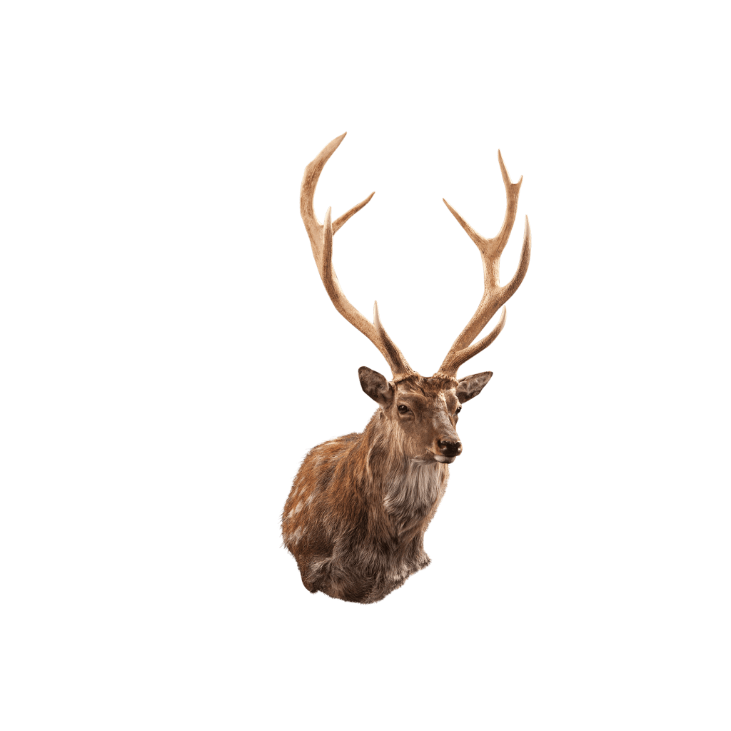 sika deer shoulder mount