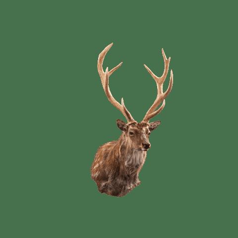sika deer shoulder mount