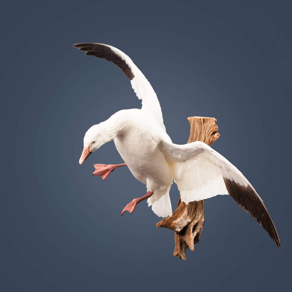 Snow goose taxidermy side view