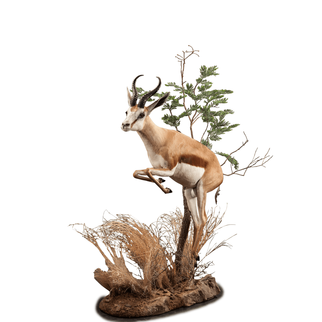 leaping springbok taxidermy