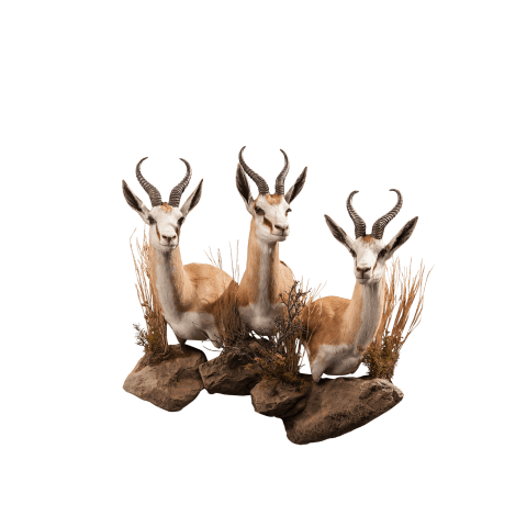 three springbok shoulder mounts