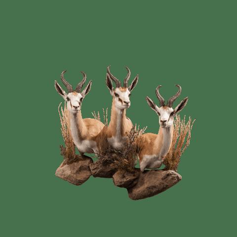 three springbok shoulder mounts