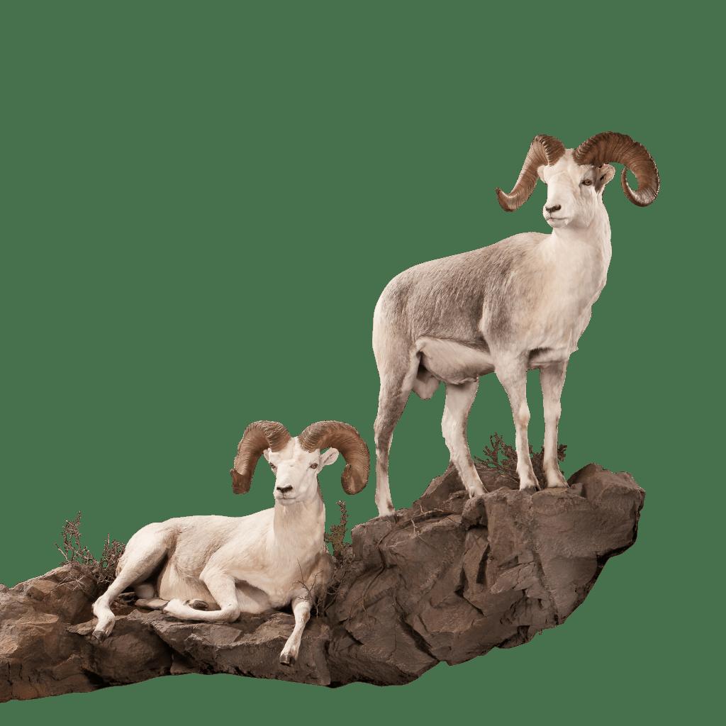 Sheep pose on stones