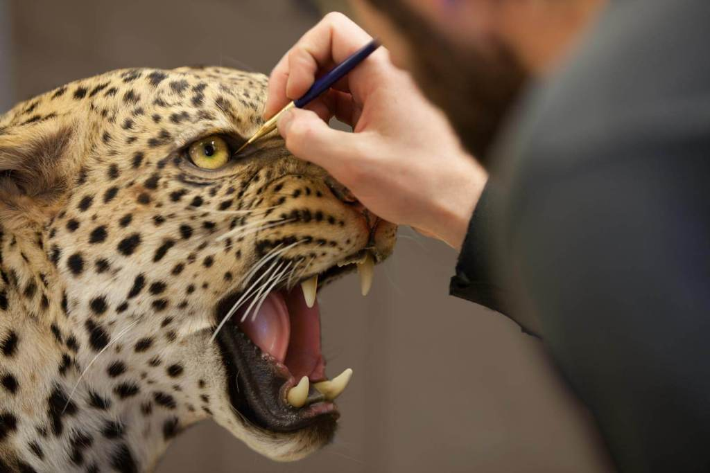 A taxidermy artist adds detail to a custom leopard trophy